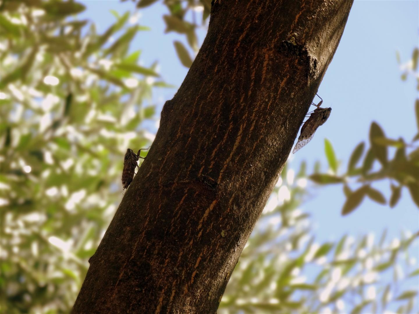 photo of two cicadas n an olive tree