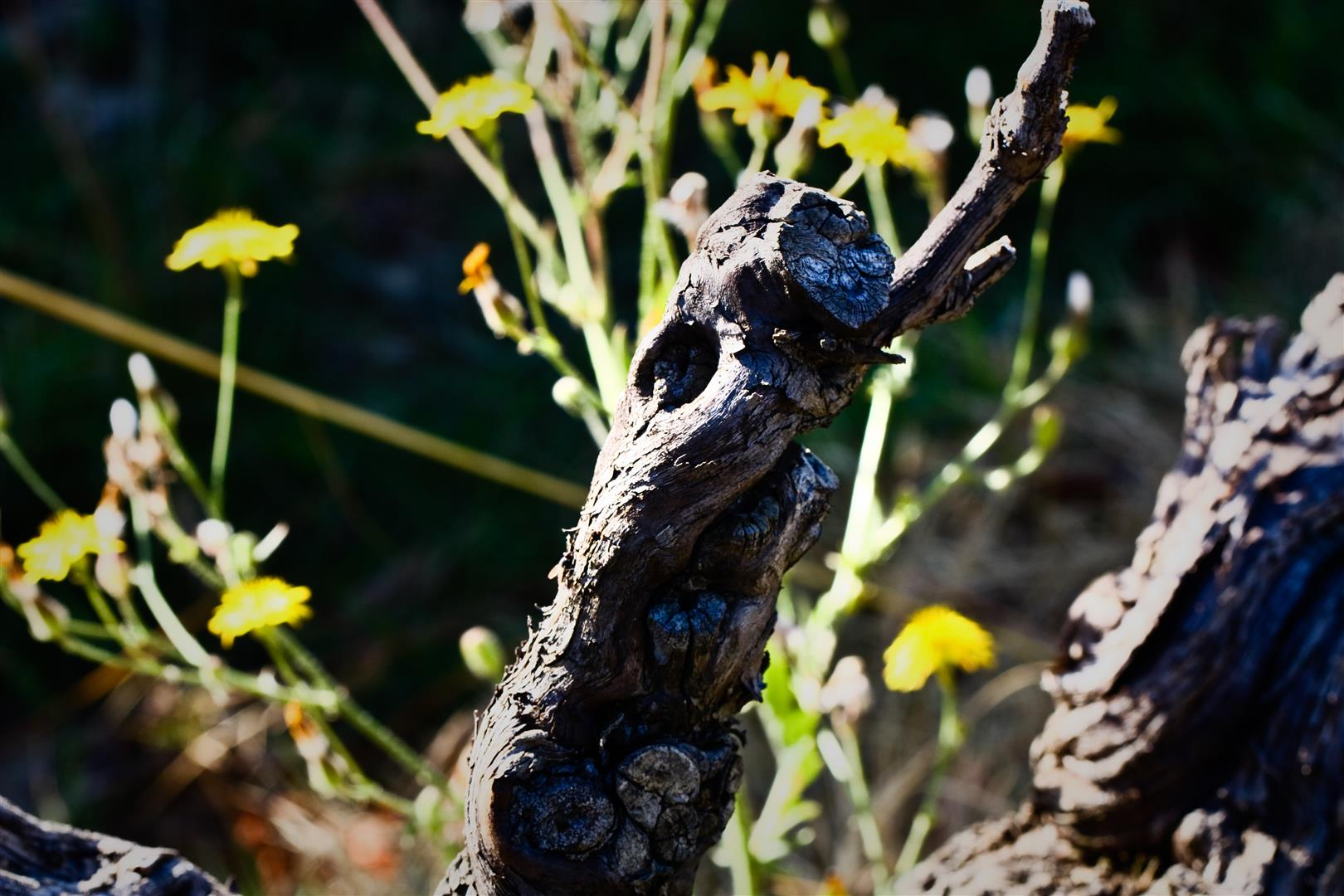 photo d'un vieux cep de grenache