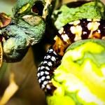 Photo de deux chenilles mangeant un fruit