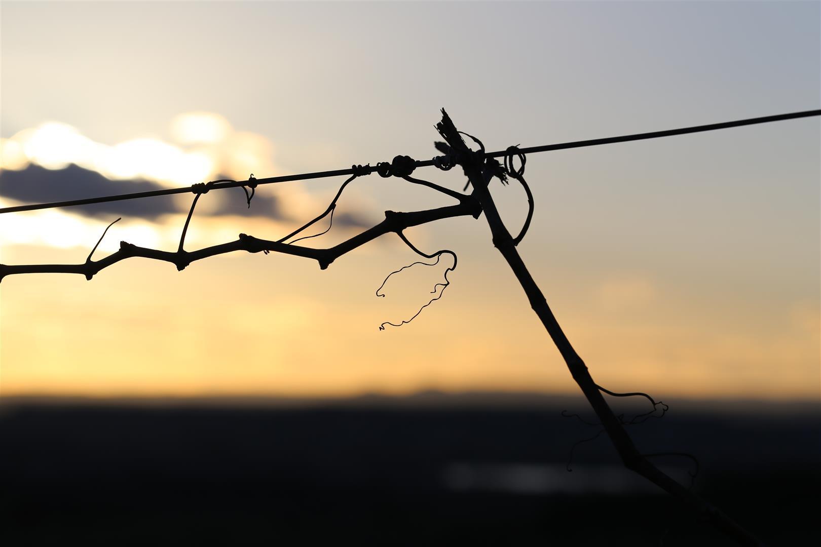 photo de vrilles de vignes en hiver